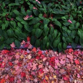 Hostas and Leaves