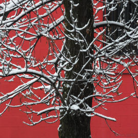 Snowy Branches – Red Wall