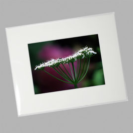 Cow Parsnip Plant (Mini)