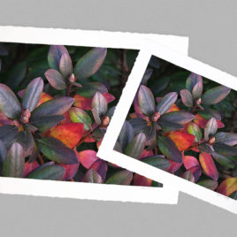 Rhododendron Bush – Large