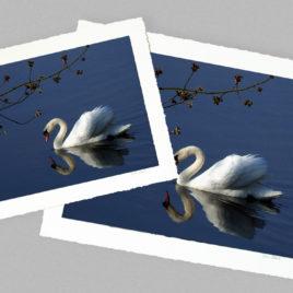 Swan – Large
